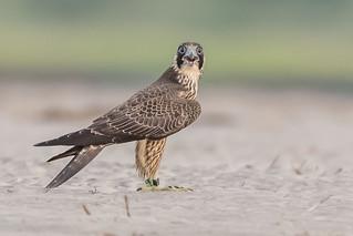 Peregrine Falcon #2