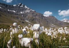 Champ de linaigrettes (Quentin Douchet) Tags: aiguilledelagrandesassière3747m alpes alpesfrançaises alps flore frenchalps nature fleur flora flower landscape linaigrette montagne mountain paysage sommet summit