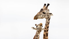 Nairobi-Nationalpark 01 (ovg2012) Tags: giraffatippelskirchi kenia kenya masaigiraffe massaigiraffe nairobinationalpark safari