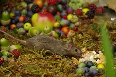 wild mouse with fruits and berry's (4) (Simon Dell Photography) Tags: wild george log pile house mouse nature garden animal rodent cute fun funny summer fruits berries berrys display lots bounty moss covered simon dell photography sheffield 2018 aug cool awesome countryfile ears close up high detail cards design