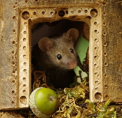 house mouse (Simon Dell Photography) Tags: wild george log pile house mouse nature garden animal rodent cute fun funny summer fruits berries berrys display lots bounty moss covered simon dell photography sheffield 2018 aug cool awesome countryfile ears close up high detail cards design carved door frame way