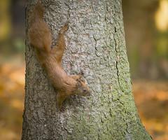 Descending (hedera.baltica) Tags: squirrel redsquirrel eurasianredsquirrel wiewiórka wiewiórkapospolita sciurusvulgaris