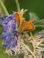 2018_07_0379 (petermit2) Tags: smallskipperbutterfly smallskipper butterfly northcavewetlands northcave brough eastyorkshire eastridingofyorkshire yorkshire yorkshirewildlifetrust ywt wildlifetrust wildlifetrusts