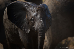 Feeling refreshed (leendert3) Tags: leonmolenaar southafrica wildlife nature mammals africanelephant ngc npc coth5