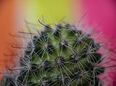 Cactus baby ... (Julie Greg) Tags: cactus details macro colours canon canon800d plant flower