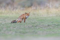 R18_2233 (ronald groenendijk) Tags: cronaldgroenendijk 2018 diereninhetwild rgflickrrg animal copyrightronaldgroenendijk fox nature natuur natuurfotografie netherlands outdoor ronaldgroenendijk vos vulpis wildlife