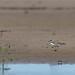 Little ringed plover
