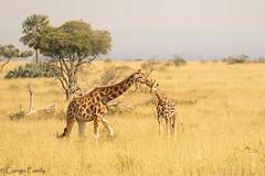 Moment of tenderness in Uganda (2) - Rothschild Giraffe - Girafe de Rothschild (Bruno Conjeaud) Tags: pourpre rothschild uganda murchinson falls