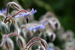 Borage (gripspix (OFF)) Tags: 20180802 nature natur plant pflanze flower blume bloom blüte borretsch borage boragoofficinalis dew tau hairy haarig
