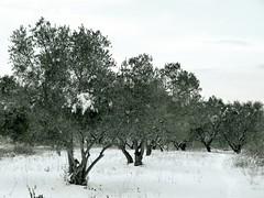 Olive trees in the snow (Elvis L.) Tags: olive tree snow vegetation sky winter zadar dalmatia croatia