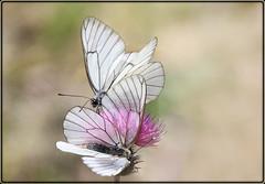 Transparence et robes blanches (lo46) Tags: france midipyrénées occitanie lot departementdulot papillons fleurs macro ailes nature canon60d lo46