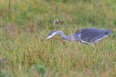 Hunting Heron (CJH Natural) Tags: greyheron graureiher ardeacinerea heron hunting predator field meadow spear bird nature
