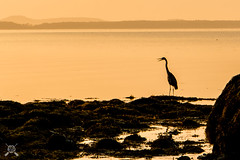 Chatty Egret-2879 (NWPaddler) Tags: 2018 belfast coast me maine mainecoast morninglight summer vacation birds silhouette egret dawn ocean sea bird