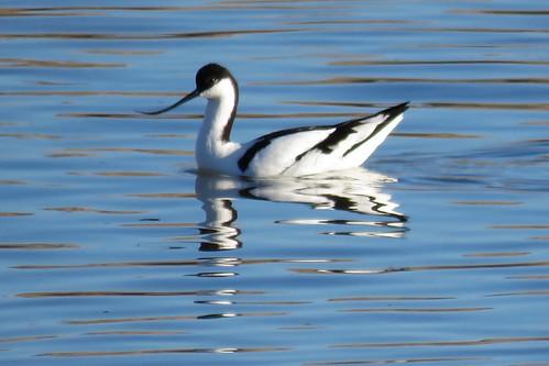 26 - AVOCETA COMÚN (Recurvirostra avosetta) - JUAN LUIS REDAJO SANTIAGO