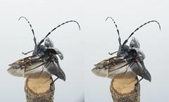 Anoplophora malasiaca, stereo parallel view (Mushimizu) Tags: stereo 3d parallel ゴマダラカミキリ anoplophoramalasiaca beetle longicornbeetle