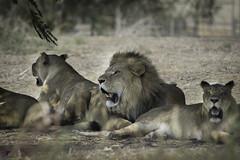 lions + lioness (Roy.G.Levy) Tags: art artistic lioness lion beautiful colorful colors d7100 landscape nikon nikond7100 nature animal nikon300mmf45edif ais roar predator cleaning grass pet cat macro wild tc300