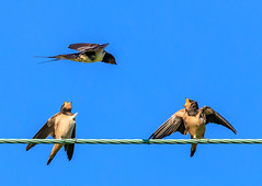 Swallows (Tony Smith Photo's) Tags: avian baby beak bill bird birds black blue england feathers feeding flying natural nature perched sky white wild wildlife wings yellow animal background beaks beautiful beg birdsisolated birdwatching brood call calling chick chicks clearbackground colorful countryside cute family fauna feather feed fledgling food hatchling hirundorustica hungry immature juvenile life migratorybirds mother mouth naturalbeauty nestling newborns noisy passerine perch perchedbird perching rural sibling sitting small swallow swallows two wildlifephotography young explored explore