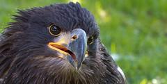 Bald eagle youngster (pe_ha45) Tags: baldeagle weiskopfseeadler hellenthal falknerei fauconnerie falconry greifvogel raptor rapace haliaeetusleucocephalus