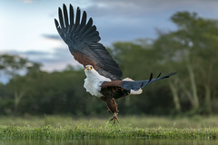 African Fish Eagle -  Zimanga - South-Africa (wietsej) Tags: african fish eagle zimanga southafrica bird prey nature sony a7rii 70200 sal70200g