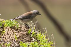 grey shrike thrush (crispiks) Tags: nikon d500 70200 f28 kremur street boat ramp albury new south wales birdlife grey shrike thrush
