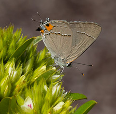 Gray Hairstreak Butterfly (Explore 9/7/18) (vischerferry) Tags: butterfly grayhairstreak strymonmelinus lepidoptera insect hairstreak wildflower eyespot smallbutterfly