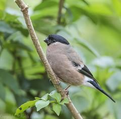 Bullfinch (F) -(Pyrrhula pyrrhula) 'Z' for zoom (hunt.keith27) Tags: black blue brown creambuff grey orange pinkpurple white pyrrhulapyrrhula canon