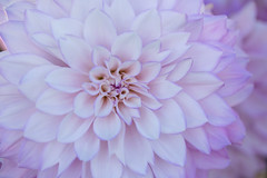 The Moment of Life (Synapped) Tags: dahlia center macro close closeup pink lavender flower swan island farm