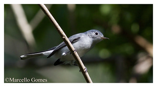 Blue-gray Gnatcatcher (Polioptila caerulea) BGGN... Blue above and gray below (best seen large)