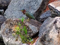 Green heron (Tony Cyphert) Tags: greenheron heron bird suncity