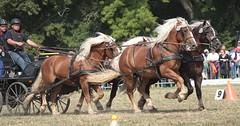 Pferdestark (ow54) Tags: pferde pferdestark kaltblüter driving carriage vierergespann vierspänner kutsche fahrsport fahrturnier horses draft gespann animals tiere equestrian