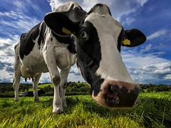 Pinocchio (Getty listed) (Alan10eden) Tags: holstein dairy cow farm farmer milk blackandwhite closeup portrait muzzle grass grazing field ireland ulster northernireland alanhopps canon 80d 1022mm wideangle uwa udder view paddock outdoors summer bluesky