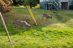 Deer on the lawn (quinet) Tags: 2018 britishcolumbia canada vancouverisland vancouver 124