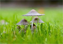 Fungus (Hindrik S) Tags: paddenstoel poddestoel fungus mushroom hat hoed pilz schirm grass gers gras green groen grien grün skepping schöpfung schepping creation nature natuur natoer natuer natur sonyphotographing sony sonyalpha slta57 a57 α57 sony1650mmf28dtssm sal1650 2018