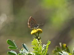Polyommatus icarus butterfly (sepherro) Tags: butterfly butterflies flower flowers bug bugs insect animals animal