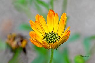 13_Yellow daisy