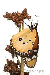 Mariposa Tigre, Danaus Chrysippus. (JAUME CASELLES) Tags: mariposa tigre danaus chrysippus fondo blanco jaume