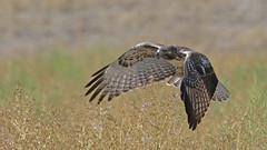 Looking For A Meal (Bill G Moore) Tags: redtailhawk birdofprey naturephotography raptor wild wildlife grass colorado canon brown