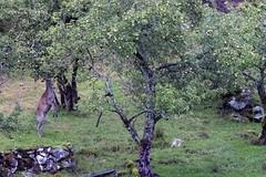epleslang (Narve Botnen) Tags: deer natur eple hage tree animal landscape grass field apple