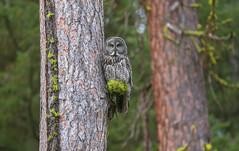 Male Great Gray Owl (Khanh B. Tran) Tags: