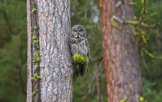 Male Great Gray Owl