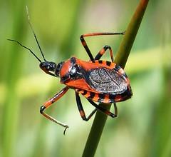 Assassin Bug Rhynocoris iracundus. Reduvidae (gailhampshire) Tags: assassin bug rhynocoris iracundus reduvidae taxonomy:binomial=rhynocorisiracundus