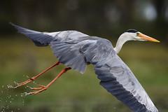 gray heron flying at lake naivasha (Man of Honour) Tags: gray heron flying lake naivasha kenya