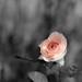 rose dreams