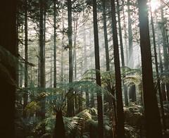 rotorua, august 2018 (kodacolorframes) Tags: plaubelmakina67 mediumformat 120 kodakportra160 6x7 film newzealand holiday rotorua redwoods forest sunbeams hillvale