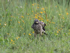 Red-shouldered Hawk (ruthpphoto) Tags: redshoulderedhawk bird