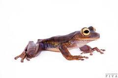 Treefrog (Bokermannohyla hylax) (Alessandher Piva) Tags: bokermannohyla hylax treefrog atlantic forest mata atlântica perereca sapo anfíbio amphibia amphibian piva alessandher biólogo herpeto herpetologia herpetology santa catarina blumenau