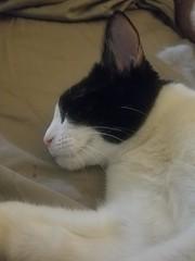 20180807_063848 (sobca) Tags: cat kottur kitte eesa miu kat pussi kato chat katze popoki gatto chatool billi felis cattus gato katt meo кошка बिल्ली 猫 γάτα vighro ᏪᏌחתול