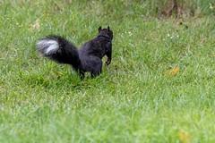 Squnk (ricmcarthur) Tags: squirrel skunk yard squnk ricmcarthur rickmcarthur rondeauric