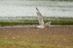 Curlew (Numenius arquata) (Baldyal) Tags: bird bif wildlife water lake venuspool shropshire