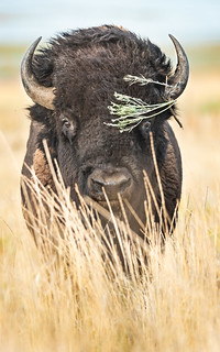 sexy bison (1 of 1)